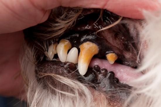tandsten hos hunde
