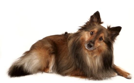 ubehandlet blærebetændelse hund