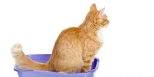 blærebetændelse kat